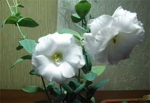 Lisianthus – Growing From Seed, Planting, Handling