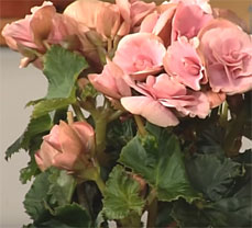 Handling of Begonias Indoors