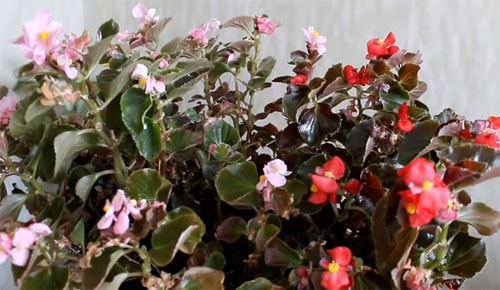 how to take care of begonias indoors