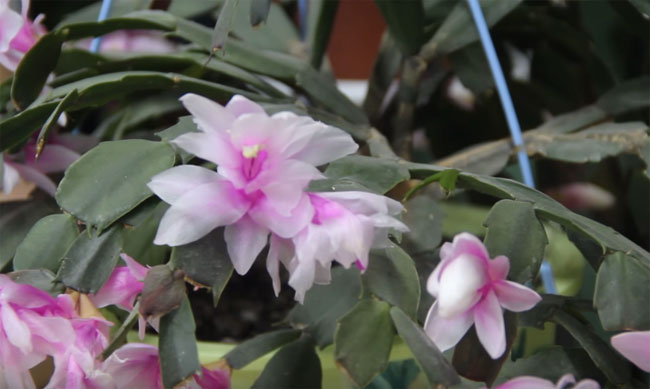 Caring For Indoor Schlumbergera