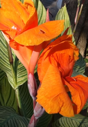 Cannas: Planting, Growing & Caring for Magnificent Canna Plants