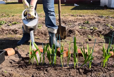 Planting Freesia Outdoors