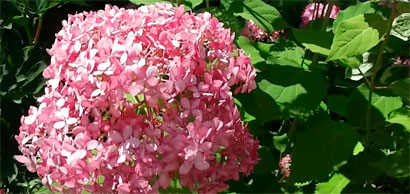 red hydrangea Anabelle